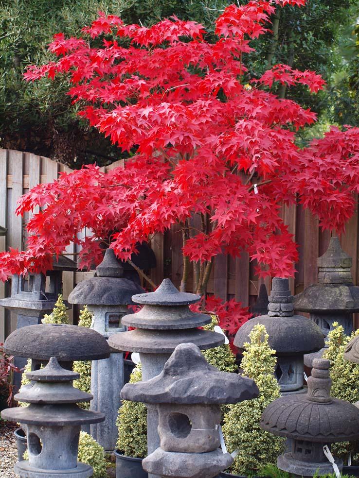 Arbres japonais - Arbre pour jardin japonais ...